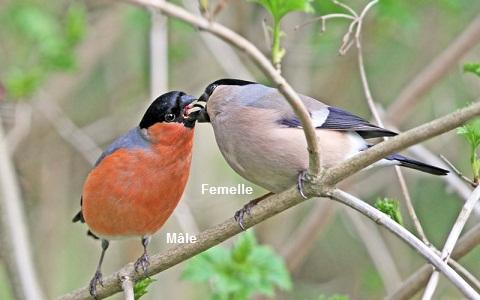Bouvreuil pivoine Pyrrhula pyrrhula Eurasian Bullfinch