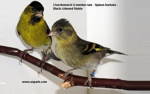 xopark3Chardonneret-à-menton-noir—Spinus-barbata—Black-chinned-Siskin