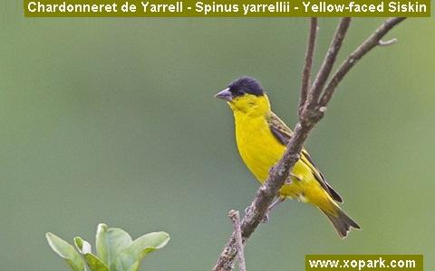 xopark3Chardonneret-de-Yarrell—Spinus-yarrellii—Yellow-faced-Siskin