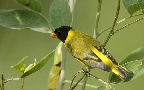 xopark3Chardonneret-des-Andes—Spinus-spinescens—Andean-Siskin