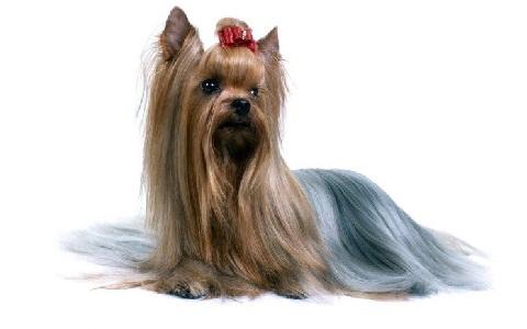 xopark3Yorkie—Yorkshire-Terrier