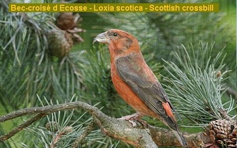 xopark4Bec-croisé-d-Ecosse—Loxia-scotica—Scottish-crossbill