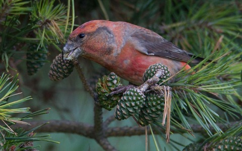 xopark4Bec-croisé-perroquet—Loxia-pytyopsittacus—Parrot-Crossbill