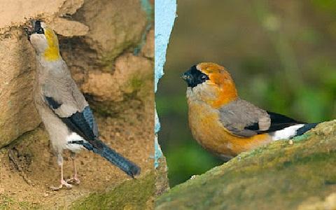 xopark4Bouvreuil-à-tête-rouge—Pyrrhula-erythrocephala—Red-headed-Bullfinch