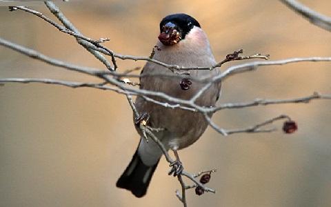 xopark4Bouvreuil-des-Philippines—Pyrrhula-leucogenis—White-cheeked-Bullfinch-