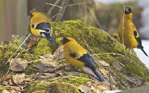 xopark4Bouvreuil-orangé—Pyrrhula-aurantiaca—Orange-Bullfinch