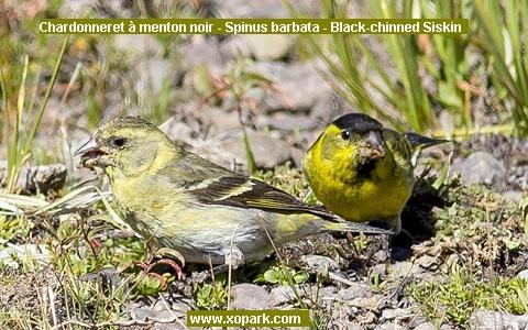 xopark4Chardonneret-à-menton-noir—Spinus-barbata—Black-chinned-Siskin