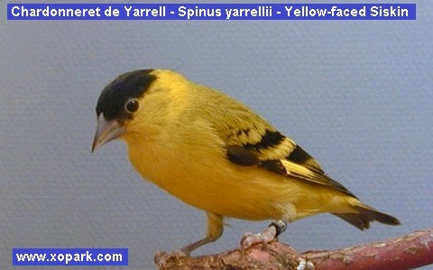 xopark4Chardonneret-de-Yarrell—Spinus-yarrellii—Yellow-faced-Siskin