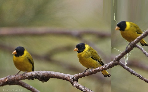 xopark4Chardonneret-des-Andes—Spinus-spinescens—Andean-Siskin