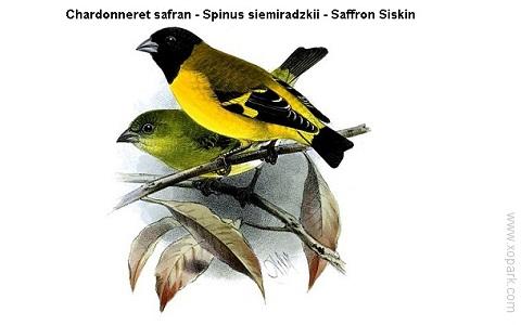 xopark4Chardonneret-safran—Spinus-siemiradzkii—Saffron-Siskin