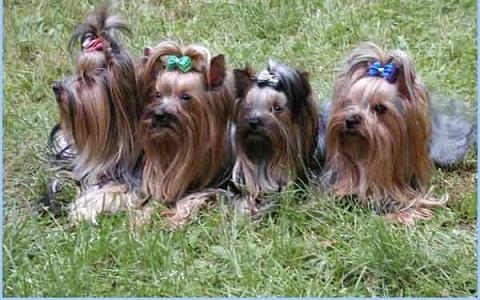 xopark4Yorkie—Yorkshire-Terrier