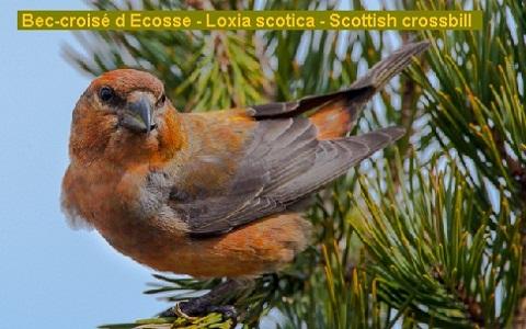 xopark5Bec-croisé-d-Ecosse—Loxia-scotica—Scottish-crossbill