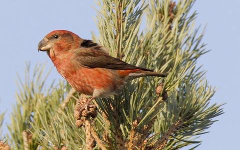 xopark5Bec-croisé-perroquet—Loxia-pytyopsittacus—Parrot-Crossbill