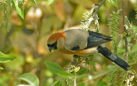 xopark5Bouvreuil-à-tête-rouge—Pyrrhula-erythrocephala—Red-headed-Bullfinch