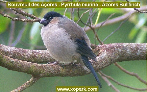 xopark5Bouvreuil-des-Açores—Pyrrhula-murina—Azores-Bullfinch