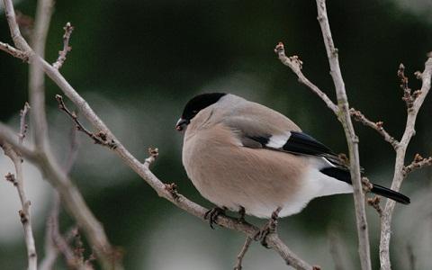 xopark5Bouvreuil-des-Philippines—Pyrrhula-leucogenis—White-cheeked-Bullfinch-