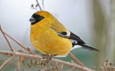 xopark5Bouvreuil-orangé—Pyrrhula-aurantiaca—Orange-Bullfinch