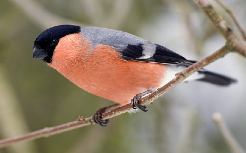 Bouvreuil pivoine (mâle)