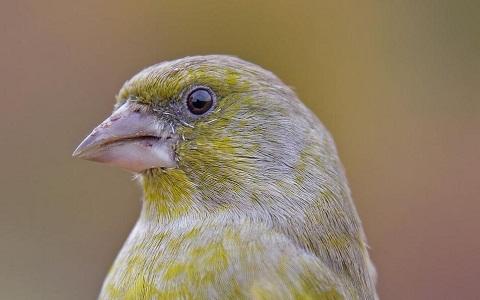 xopark5Verdier-d Europe—Chloris-chloris—European-Greenfinch