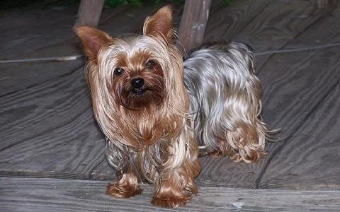 xopark5Yorkie—Yorkshire-Terrier