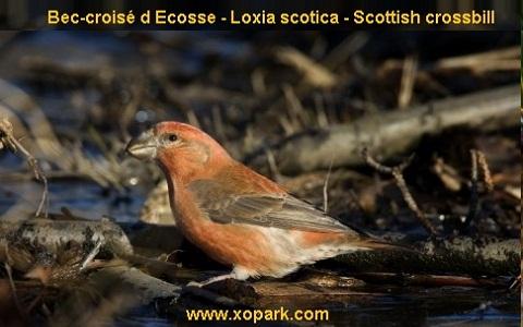 xopark6Bec-croisé-d-Ecosse—Loxia-scotica—Scottish-crossbill