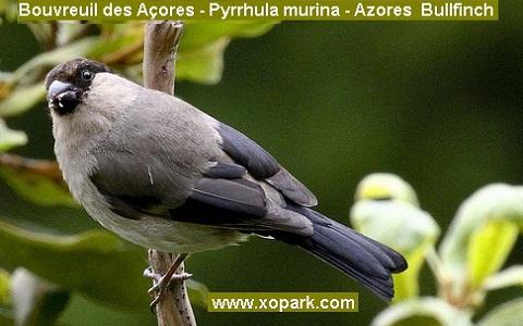 xopark6Bouvreuil-des-Açores—Pyrrhula-murina—Azores-Bullfinch