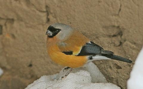xopark6Bouvreuil-orangé—Pyrrhula-aurantiaca—Orange-Bullfinch
