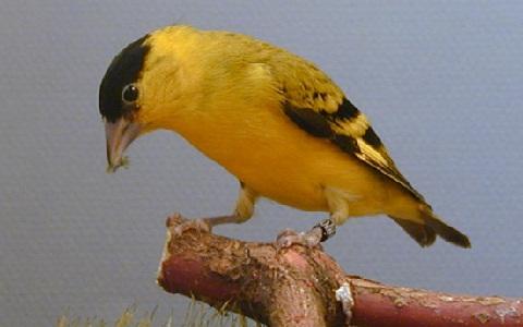 xopark6Chardonneret-de-Yarrell—Spinus-yarrellii—Yellow-faced-Siskin