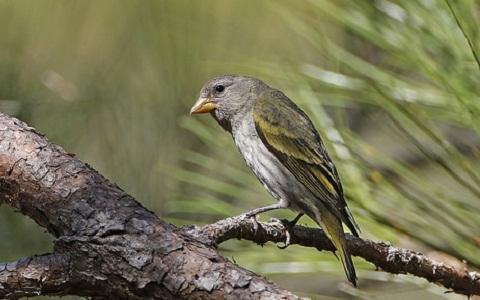 xopark6Chardonneret-des-Andes—Spinus-spinescens—Andean-Siskin