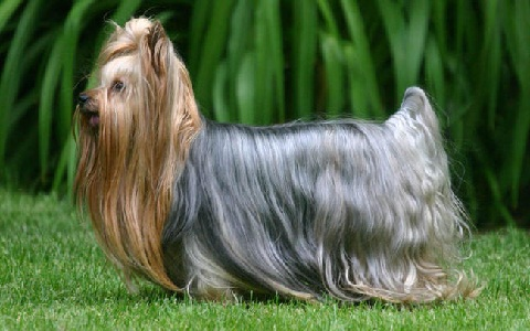 xopark6Yorkie—Yorkshire-Terrier