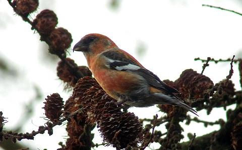 xopark7Bec-croisé-bifascié—Loxia-leucoptera—Two-barred-Crossbill