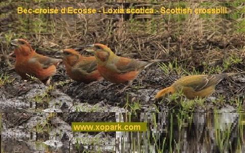 xopark7Bec-croisé-d-Ecosse—Loxia-scotica—Scottish-crossbill