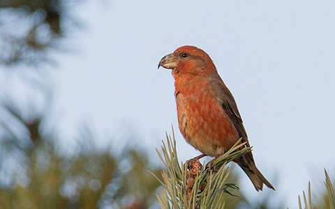 xopark7Bec-croisé-perroquet—Loxia-pytyopsittacus—Parrot-Crossbill