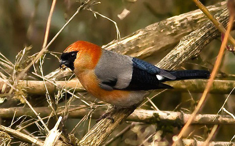xopark7Bouvreuil-à-tête-rouge—Pyrrhula-erythrocephala—Red-headed-Bullfinch