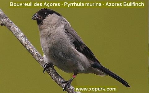 xopark7Bouvreuil-des-Açores—Pyrrhula-murina—Azores-Bullfinch