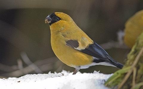 xopark7Bouvreuil-orangé—Pyrrhula-aurantiaca—Orange-Bullfinch