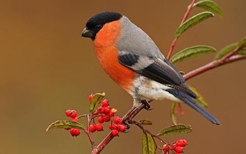xopark7Bouvreuil-pivoine—Pyrrhula-pyrrhula—Eurasian-Bullfinch