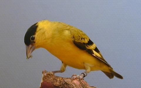 xopark7Chardonneret-de-Yarrell—Spinus-yarrellii—Yellow-faced-Siskin