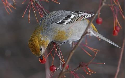 xopark7Durbec-des-sapins—Pinicola-enucleator—Pine-Grosbeak