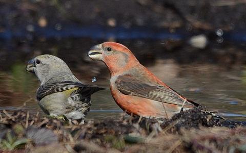 xopark8Bec-croisé-perroquet—Loxia-pytyopsittacus—Parrot-Crossbill