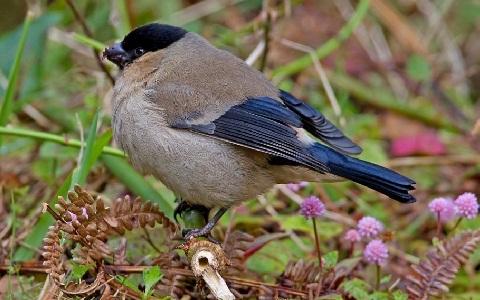 xopark8Bouvreuil-des-Açores—Pyrrhula-murina—Azores-Bullfinch