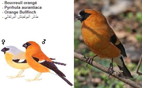 xopark8Bouvreuil-orangé—Pyrrhula-aurantiaca—Orange-Bullfinch