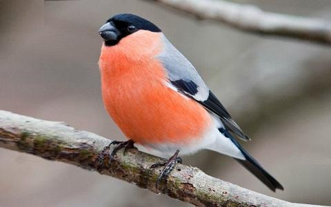 xopark8Bouvreuil-pivoine—Pyrrhula-pyrrhula—Eurasian-Bullfinch
