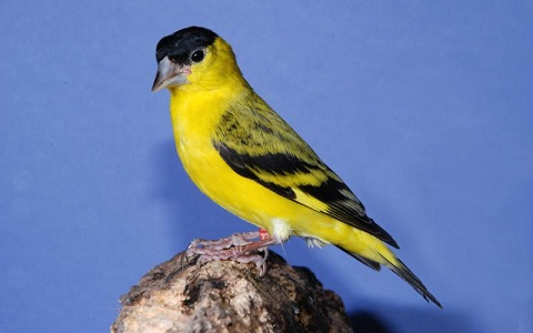 xopark8Chardonneret-de-Yarrell—Spinus-yarrellii—Yellow-faced-Siskin