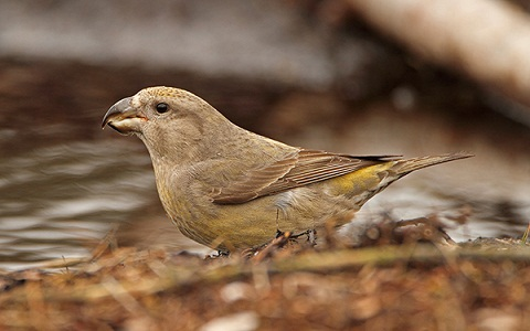 xopark9Bec-croisé-perroquet—Loxia-pytyopsittacus—Parrot-Crossbill