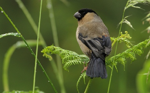 xopark9Bouvreuil-des-Açores—Pyrrhula-murina—Azores-Bullfinch