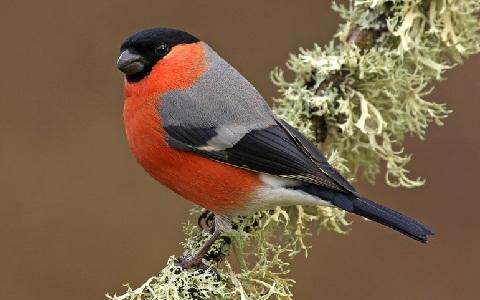 xopark9Bouvreuil-pivoine—Pyrrhula-pyrrhula—Eurasian-Bullfinch