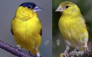 xopark9Chardonneret-de-Yarrell---Spinus-yarrellii---Yellow-faced-Siskin