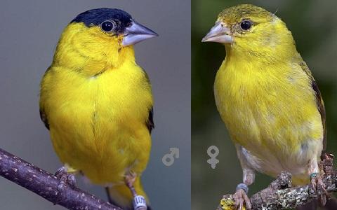 xopark9Chardonneret-de-Yarrell—Spinus-yarrellii—Yellow-faced-Siskin