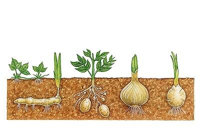 Multiplication Végétale